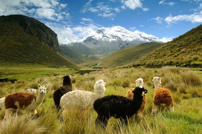 Đàn lạc đà không bướu nhởn nhơ đi dạo gần núi lửa Chimborazo, ngọn núi cao nhất ở Ecuador.