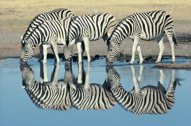 Đàn ngựa vằn đang uống nước trong Công viên Quốc gia Etosha.