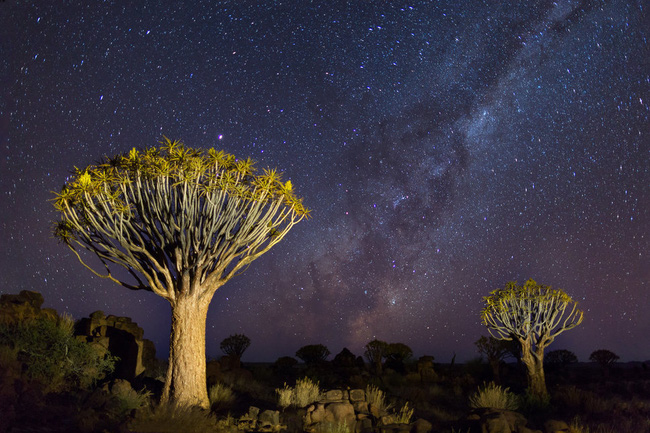Cây rung động, biểu tượng quốc gia của Namibia.