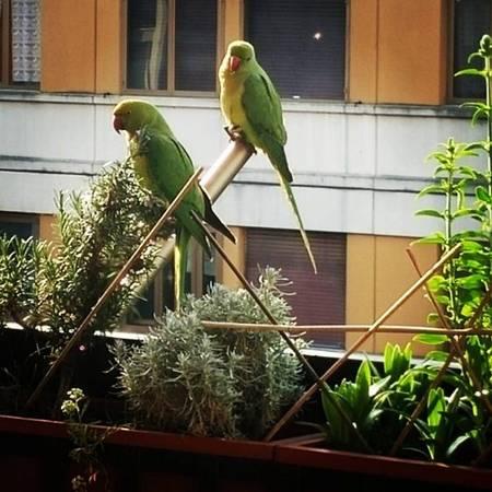 """Người dân địa phương dùng từ """"xâm lược"""" khi mô tả về những con vẹt xanh xinh đẹp, xuất hiện ở Romê từ đầu những năm 1990. Một số trong đó đến từ Nam Mỹ và Châu Á. Tuy vậy, ai có thể phủ nhận vẻ đẹp của chúng? 8. Những đĩa mì Pasta All'Amatriciana tuyệt hảo"""