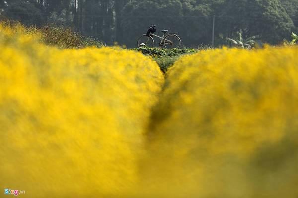 Hưng Yên: Thôn Nghĩa Trai, xã Tân Quang, huyện Văn Lâm là nơi nổi tiếng về nghề trồng cây làm thuốc dịp giáp Tết. Tới đây, du khách sẽ được đắm chìm vào những mảng màu vàng rực trên cánh đồng cùng với mùi hương thơm ngát đặc biệt của loài hoa cúc chi.
