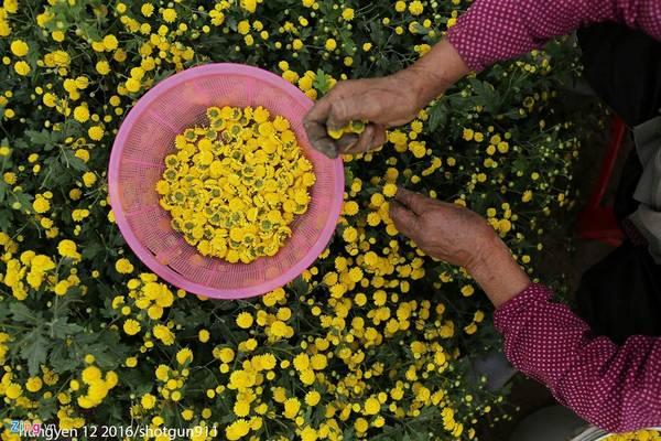 Hoa cúc chi chỉ có một mùa, và nở rộ những ngày sau Tết Dương lịch. Đây còn là loại thảo dược quý có tác dụng thanh nhiệt, hạ hỏa, giải độc, bổ não...