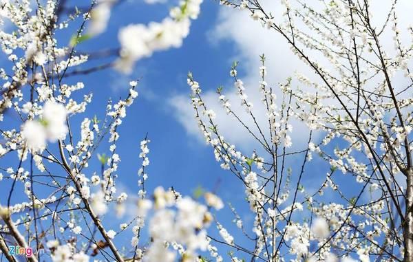 Mộc Châu (Sơn La): Ngoài Hà Giang, Mộc Châu cũng là một trong những xứ sở hoa mận trắng vào mỗi dịp đầu năm mới. Sẽ không quá khi người ta nói Mộc Châu vào mùa xuân trông như một thiên đường ở lưng chừng mây.