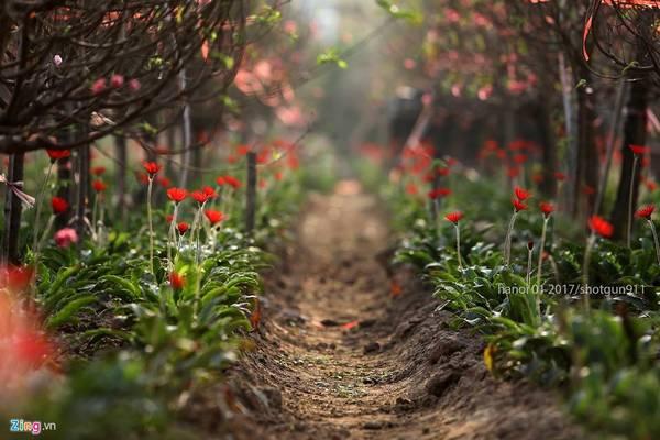Ngoài đào quất, làng Nhật Tân còn trồng nhiều loài hoa khác như hoa đồng tiền, hướng dương, cúc họa mi...