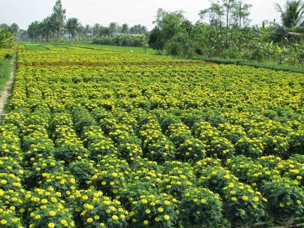 Bạn sẽ bắt gặp đâu đâu cũng có cánh đồng hoa rực rỡ. Ảnh: dulichbentre.blogspot.com
