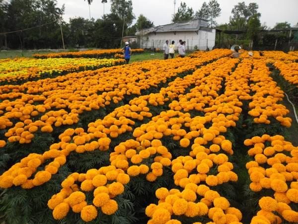 Nhà vườn luôn tất bật chuẩn bị xuất hoa lên các tỉnh, thành phố. Ảnh: bentre24h.vn