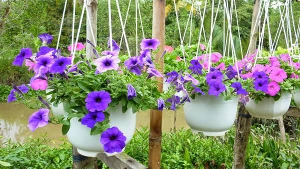 Hoa dừa cạn, dạng treo rất được ưa chuộng trong những năm gần đây. Ảnh: Phnhan.vndgarden.com