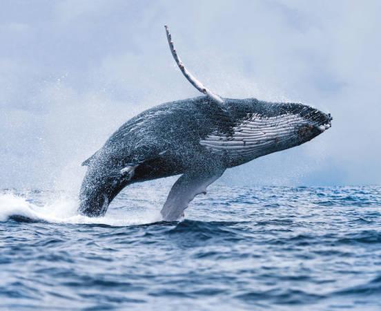 Cá voi lao khỏi mặt nước ở Iceland - Ảnh: BP