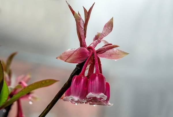Không chỉ là biểu tượng của khu du lịch Bà Nà Hills, hoa đào chuông còn mang ý nghĩa may mắn, tài lộc, tượng trưng cho người quân tử và sự chân thành. Bởi lẽ đó, đến Bà Nà ngắm đào chuông còn được xem là cuộc hạnh ngộ đẹp đẽ trong ngày đầu xuân.
