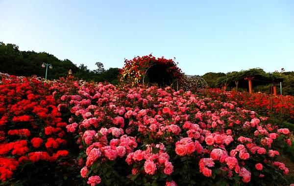 Nhanh chân check-in ở thung lũng Hoa Hồng đẹp mê đắm khi đến du lịch Sapa -  iVIVU.com
