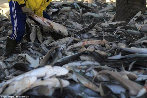Theo Jakarta Post, Indonesia sản xuất được ít nhất 486 tấn vây cá mập khô mỗi năm. Bất chấp sự phản đối và lệnh cấm từ chính phủ, nạn đánh bắt cá mập vẫn diễn ra hàng ngày và không thể kiểm soát.