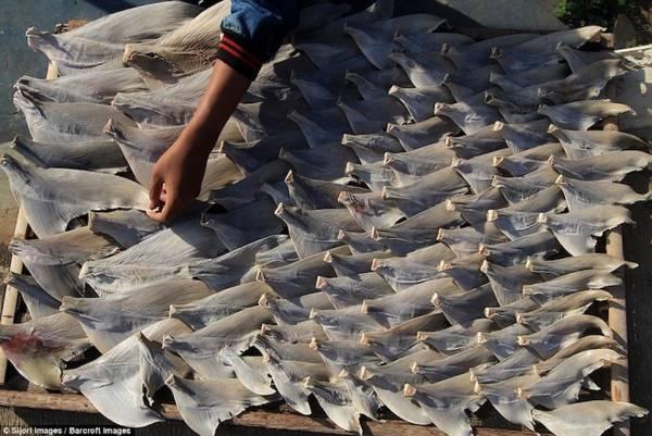 Hiện Indonesia dẫn đầu trong số 20 quốc gia đánh bắt cá mập nhiều nhất thế giới, dẫn đến sự sụt giảm từ 40% đến 99% các loại cá mập phổ biến. Theo Tổ chức Bảo tồn thiên nhiên, 71% trong số đó được xếp loại dễ tổn thương và có nguy cơ tuyệt chủng rất cao.
