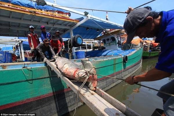 Với những con cá mập to, ngư dân phải dùng dây thừng và cầu gỗ để kéo lên bờ.
