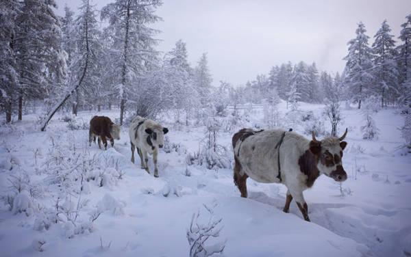 Đàn bò ở Oymyakon