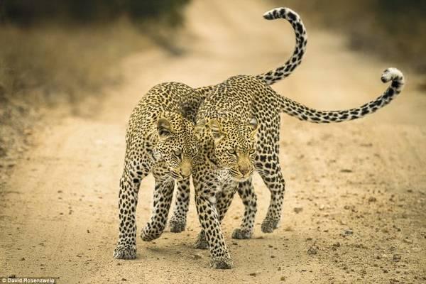 Nhiếp ảnh gia người Mỹ David Rosenzweig chụp lại cảnh báo mẹ và báo con bày tỏ tình cảm ở khu bảo tồn động vật tại Mpumalanga (Nam Phi)