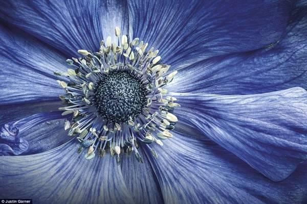 Hoa hải quỳ màu xanh