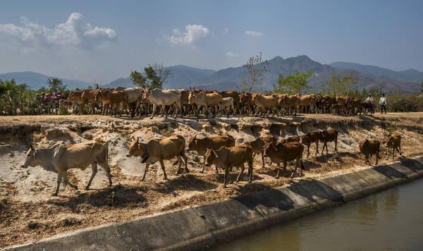 Đàn gia súc thong thả đi dọc hồ Lanh Gia trên đoạn đường mới. Ảnh: Phước Vinh