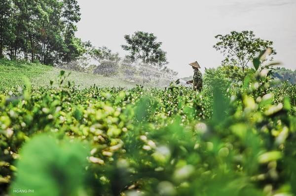 Buổi sáng bắt đầu trên mảnh đất tuyệt đẹp này bằng những hoạt động bình dị của người nông dân trồng chè. Người hái búp, người tưới cây nhộn nhịp một vùng.