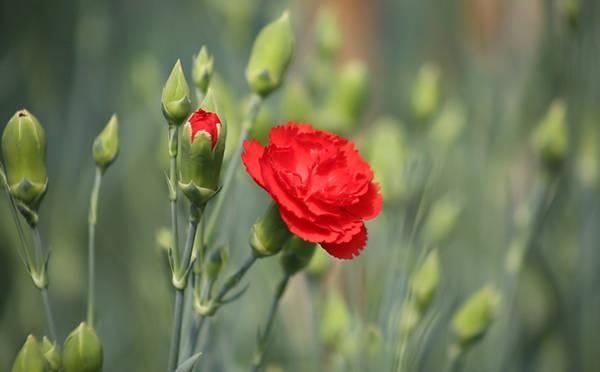 """Đến """"vương quốc hoa"""" Đà Lạt, du khách có thể thoải mái ngắm nhìn hàng trăm loại hoa rực rỡ sắc màu, trong đó có cẩm chướng. Người dân Đà Lạt áp dụng tiêu chuẩn GlobalGap vào hoa để nâng cao giá trị nông sản. Không chỉ cung cấp cho thị trường trong nước, hoa cẩm chướng còn xuất khẩu sang Nhật Bản."""