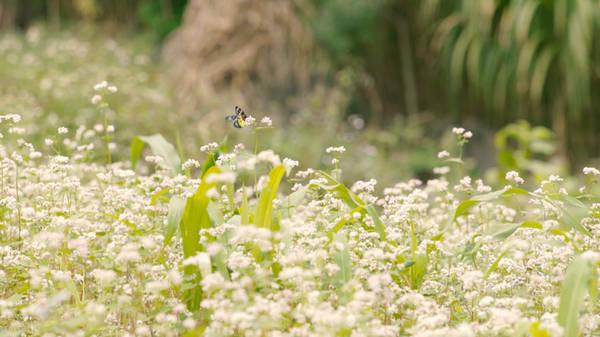 Những bông tam giác mạch trắng thuần khiết hấp dẫn đông đảo du khách khắp mọi nơi. Từ hạt hoa, người dân Hà Giang sẽ làm ra những chiếc bánh ngọt giòn, trở thành đặc sản không thể thiếu của địa phương.
