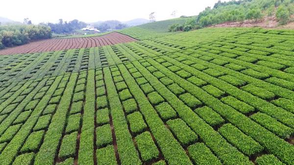 Nếu một lần đến Tuyên Quang, bạn sẽ không thể quên được sắc xanh ngút ngàn của đồi chè tại thôn Làng Bát.