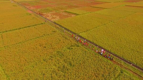 """Về Bắc Ninh vào mùa hè, bạn sẽ đắm mình trong những cánh đồng lúa vàng óng, thẳng cánh cò bay. Để làm ra những hạt """"ngọc trời"""" trắng ngần, người dân chăm chút từ khâu chọn giống, trồng lúa, chăm sóc đến tận lúc thu hoạch. Tại đây, đất và nguồn nước được kiểm định đạt chuẩn, thuốc bảo vệ thực vật cũng sử dụng đúng cách để đảm bảo an toàn cho người tiêu dùng cũng như bảo vệ môi trường."""