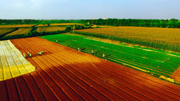 Bên cạnh lúa, Bắc Ninh còn có nhiều cánh đồng ngô xanh mướt trải dài bất tận.