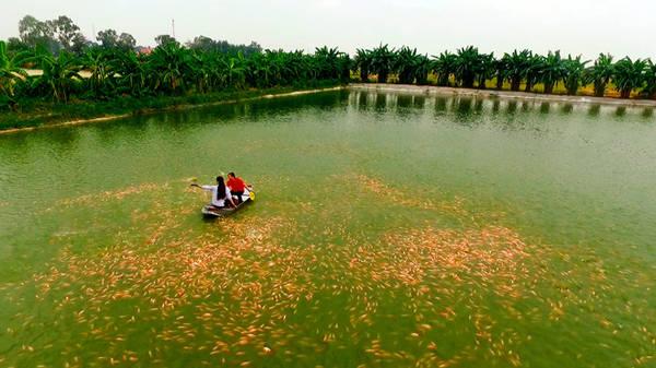 Về Hưng Yên, mọi người có thể thấy sắc vàng cam của cá diêu hồng trên những mặt hồ rộng hàng nghìn ha. Người dân nơi đây đang xây dựng mô hình nuôi cá đạt chuẩn vệ sinh an toàn thực phẩm, cung cấp nông sản sạch cho nhiều tỉnh, thành phố trên cả nước.