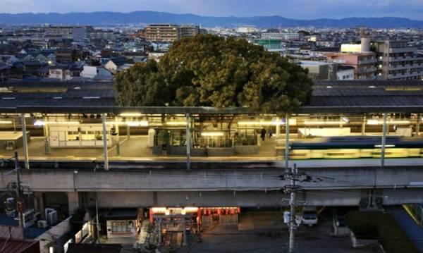 Ga Kayashima tại Neyagawa (Osaka, Nhật Bản) là một trong những nhà ga lạ lùng của Nhật Bản khi được xây quanh một cây cổ thụ lớn. Ảnh: Inhabitat. Mọc vươn khỏi mái nhà ga, cây long não khoảng 700 tuổi được biết đến với tên gọi The Big Kusu of Kayashima (cây Kusu đại thụ của Kayashima).