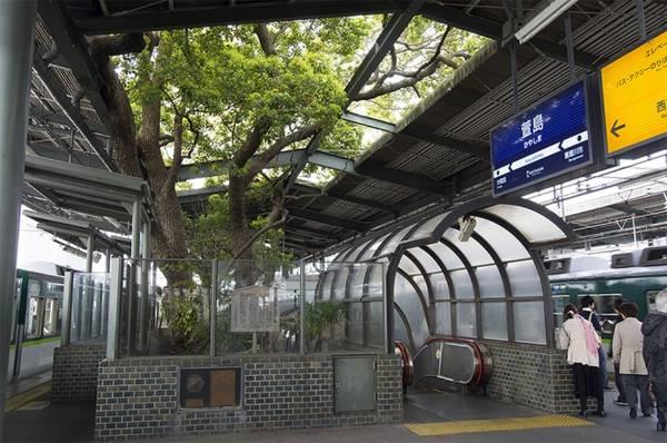 Khi nhà ga hoàn thành vào năm 1980, ban quản lý biến khu vực cây long não thành một đền thờ nhỏ với rào chắn và dây thừng shimenawa treo xung quanh. Kể từ đó, cây long não 700 tuổi giữ một vị trí trang trọng giữa nhà ga Kayashima. Ảnh: Thisiscolossal.
