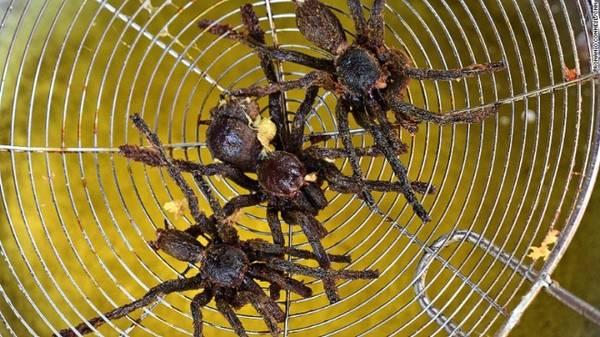"""Yin giải thích chính sự nghèo khó và đói khổ ở thập niên 1970 khiến người dân Campuchia ăn tất cả những gì họ có thể kiếm được. Một số sinh vật họ bắt được thực chất có vị rất ngon như nhện Tarantula, bọ cạp, nhộng tằm hay châu chấu. Và đến nay những món ăn """"hoang dã"""" này vẫn nằm trong thực đơn của người Campuchia."""