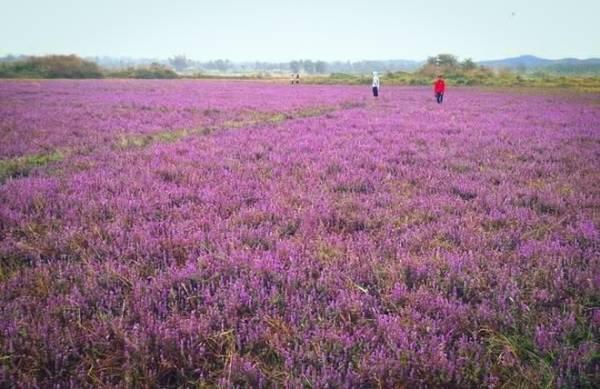 """""""Tôi cũng không biết tên hoa. Chỉ biết khi tới đây là một cánh đồng hoa màu tím rực rỡ, với phong cảnh hữu tình, đồng ruộng mênh mông, đồi núi trập trùng. Quả là món quà thiên nhiên ban tặng"""", anh Đỗ Trung Kiên, nhiếp ảnh gia nghiệp dư tại Đắk Lắk cho biết."""