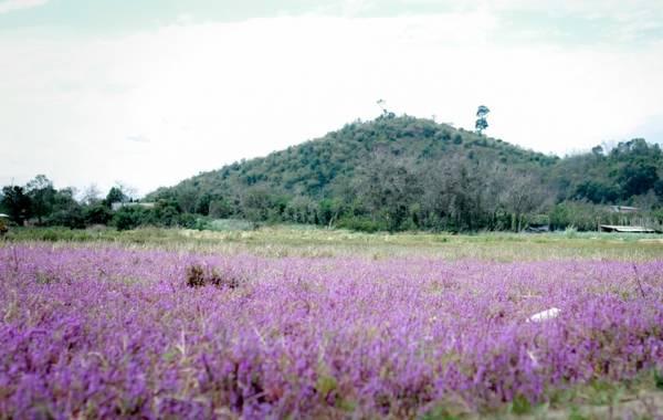 Phong cảnh hữu tình với đồi núi trập trùng bên cánh đồng hoa tím.