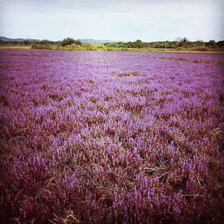 Một góc cánh đồng hoa tím.