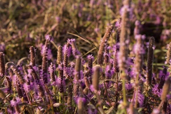 Những cánh hoa tím khoe sắc trong nắng sớm.