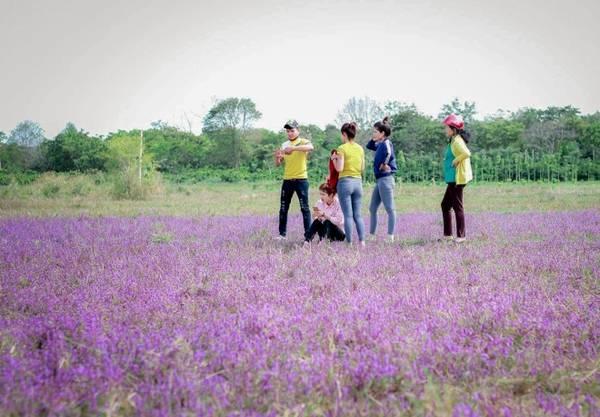 Do lượng người kéo đến chụp hình ngày một đông nên cánh đồng hoa tím cũng đang đứng trước nguy cơ bị du khách giẫm nát.
