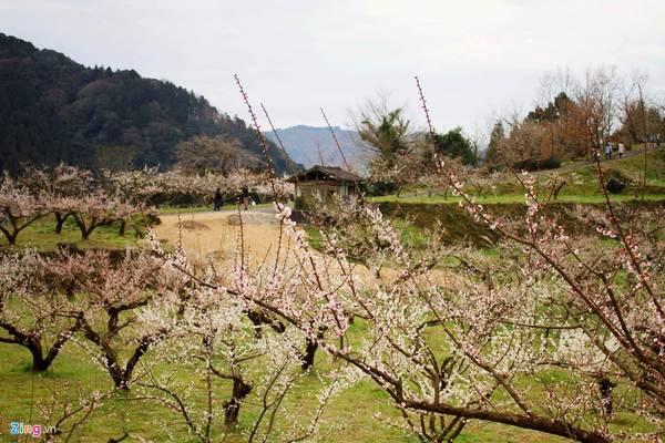 Từ đầu tháng 2, khi thời tiết bắt đầu ấm lên, nhiều loại hoa ở Nhật bắt đầu khoe sắc. Trong đó, nổi bật nhất là hoa mận. Lễ hội ngắm hoa này cũng diễn ra và kéo dài từ đầu tháng 2 đến giữa tháng 3.