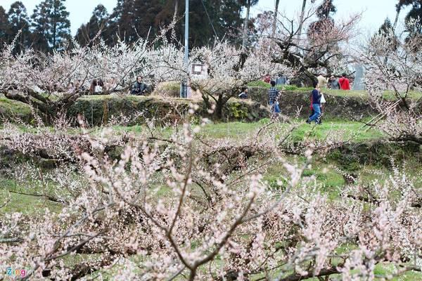 Vào thời điểm hoa mận nở, người Nhật thường lên kế hoạch ngắm hoa cùng gia đình, bạn bè.