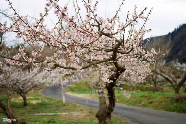 Hoa mận hay hoa mơ tại Nhật được gọi là Ume. Đây là một trong những loại hoa quen thuộc trong đời sống của người dân và có giá trị kinh tế cao.