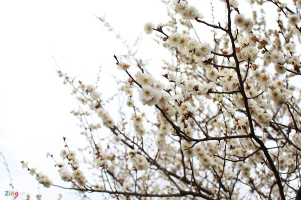 Hoa mận có nhiều màu sắc từ trắng, đến hồng nhạt và đỏ đậm.