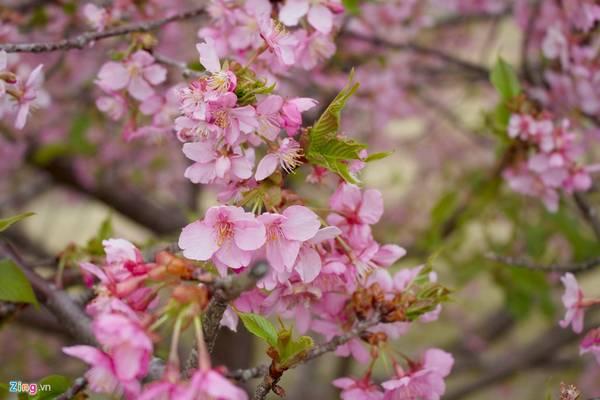 Để phân biệt hai loại hoa này, bạn có thể dựa vào thời gian nở. Hoa mận nở từ đầu tháng 2 đến giữa tháng 3. Trong khi đó, hoa anh đào nở từ cuối tháng 3 kéo dài sang đầu tháng 4.