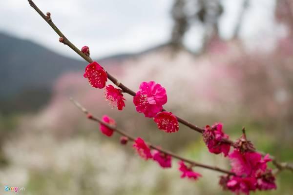 Bạn cũng có thể phân biệt hai loại hoa dựa vào hình dạng cánh hoa và vị trí hoa trên cành.
