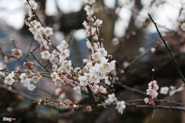 Cánh hoa mận có hình tròn đều và đính trên cành. Cánh hoa anh đào có hình oval, lõm vào ở đầu cánh hoa; mỗi hoa có cuống dài đính vào các nhành.