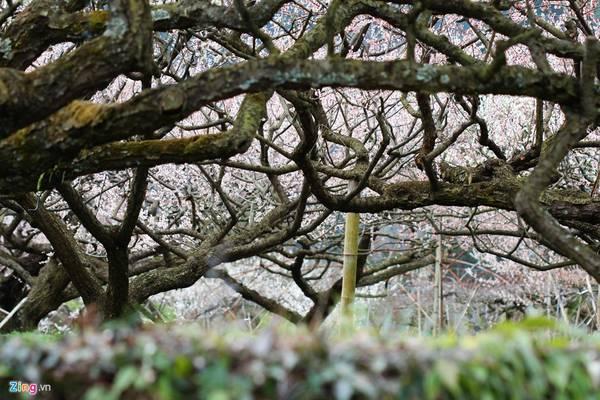Thân cây hoa mận thường tẽ nhánh sát đất và có nhiều đường vỏ cây nằm dọc.