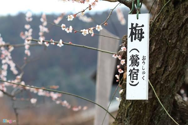 Trái mận được sử dụng nhiều trong đời sống hàng ngày của người Nhật. Trong đó, được biết nhiều nhất là món mơ muối hay các loại món nước từ trái mơ ngâm.