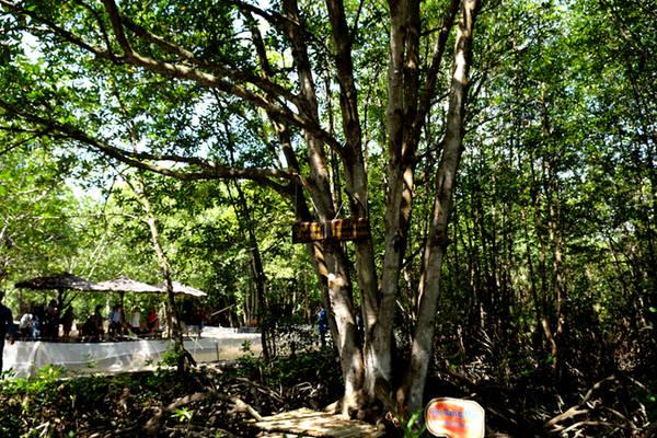 Từ lối đi, du khách đã có thể nhìn thấy được thảm thực vật đặc trưng của vùng đất này là những cây đước. Trong ảnh là cây đước có 5 thân gần 40 tuổi.