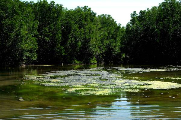 Những đầm nước hiện lên như trong tranh trên ốc đảo Vàm Sát. Nước ở Đầm Dơi vốn cạn nên phù hợp cho loại rêu xanh mọc lên từ đáy bùn mặn được bồi đắp bởi chính lá của loài cây đước.
