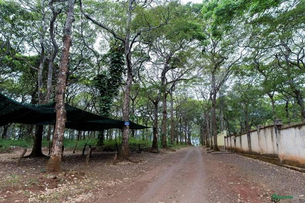 Từ trung tâm thành phố, chúng tôi theo con đường Nguyễn Văn Cừ đi về hướng sân bay Buôn Ma Thuột, sau đó thẳng hướng QL 27 để tới thị trấn Liên Sơn, thủ phủ của huyện Lak. Khu vực gần sân bay có rừng sao đen tuyệt đẹp.