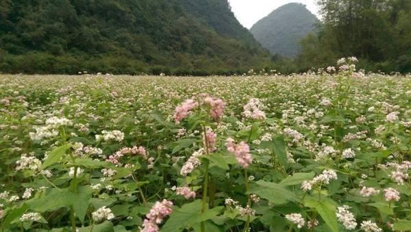 Vườn hoa tam giác mạch này nằm trong khu du lịch sinh thái Thung Nham, Ninh Bình. Từ tháng 11, lứa hoa tam giác mạch đầu tiên ở đây đã bung nở thu hút rất nhiều du khách đến tham quan. Ảnh: Mít Một Mẩu.