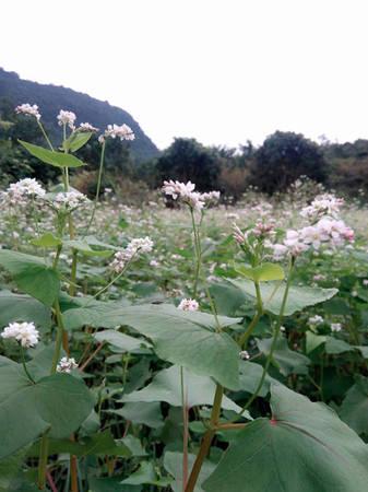 Tùy vào thời tiết của từng giai đoạn, hoa có màu hồng đậm hoặc nhạt. Khi bắt đầu ra hoa, tam giác mạch có màu trắng sau mới chuyển sang hồng. Thời gian chuyển màu phụ thuộc vào độ ẩm và nhiệt độ.